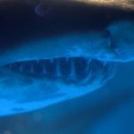 鮫の歯 | 八景島シーパラダイス | Nikon D600+TAMRON SP90mm F/2.5 MACRO